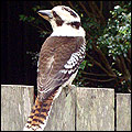 picture of a Kookaburra